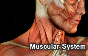 muscul