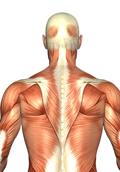 occipitalis muscle