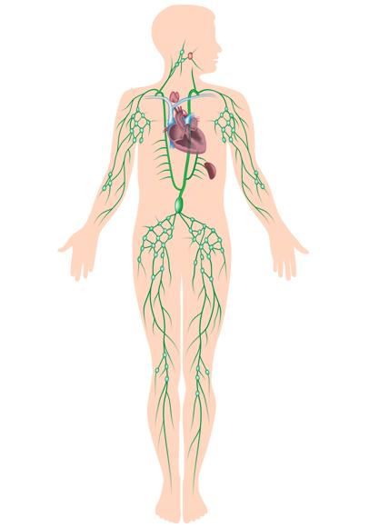 Inguinal Lymph Nodes