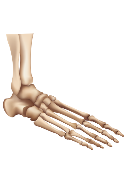 Skeletal System Of The Foot